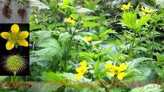 Kuklík mestský ( Geum urbanum L.) 2,40 € / rastlina v kvetináči :: RASTLINKY BYLINKY Herbs, Wood, Plants, Alcohol, Woodwind Instrument, Timber Wood, Herb, Trees, Plant