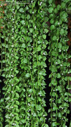 close-up of Million Hearts (Dischidia ruscifolia)