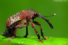 """Elephant Beetle"" (long-nosed weevil)  One of the coolest insects I've seen during my wanders (so far)"