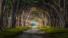 Hobbit Forest ... a magical Stone Pine forest area found in the 'Parco Migliarino San Rossore Massacuiccoli', a widely-varied regional park along the coastal area of Pisa and Lucca Provinces in Italy | by Andrea Iorio on 500px