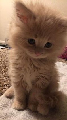 "whylimewhyanything:  "" adhara112:  "" contemplatingoutlander:  "" unadulteratedreality:  "" bitchysassenach:  ""So I brought this adorable fluff ball home with me this evening. She needs a name. Any suggestions?  ""  OMG! She's adorable! Bella? Claire? 😜  ""  She..."