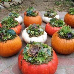 Succulent Topped Pumpkins Santa Barbara Succulent Art