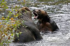 Grizzly Bears at Knight Inlet Lodge British Columbia