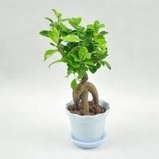 small bonsais - Google Search