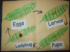 Chalk Talk: A Kindergarten Blog: Life Cycle Patterns