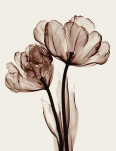 Parrot tulips II by Steven Meyers  Xray Photography
