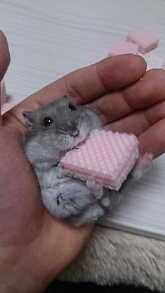 Hamster eating a wafer biscuit