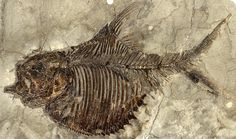 fossils - Fossil actinopterygian fish, Ellimichthys