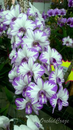 Dendrobium Enobi ~Purple 'Splash'