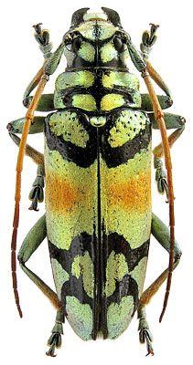 Tmesisternus rafaelae Lansberge, 1885 (Cerambycidae) Indonesia, Java I.