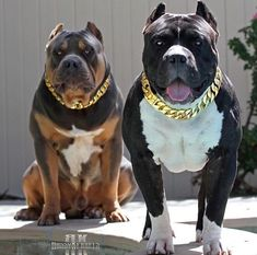 Uplifting So You Want A American Pit Bull Terrier Ideas. Fabulous So You Want A American Pit Bull Terrier Ideas. Pitbull Terrier, Amstaff Terrier, Big Dogs, Cute Dogs, Dogs And Puppies, Doggies, Scary Dogs, Sweet Dogs, Bully Dog