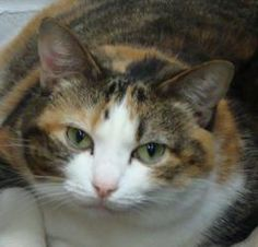 Meet Isabella in Petfinder's Fit FurKeeps Gallery. Isabella is a sweet and loving 4-year-old calico cat.