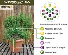 Anti mosquito pot plants.