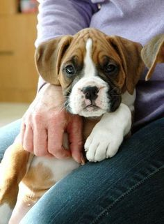 The 14 Cutest Boxer Puppies That Will Make Your Day Cute Boxer Puppies, Dogs And Puppies, Doggies, Adorable Puppies, Dogs 101, Chihuahua Puppies, Chihuahuas, Boxer And Baby, Boxer Love