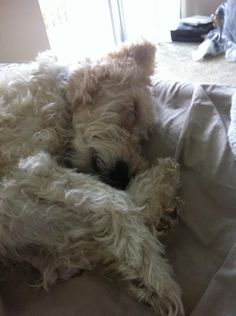 I can touch my nose with my toes. WIre fox terrier
