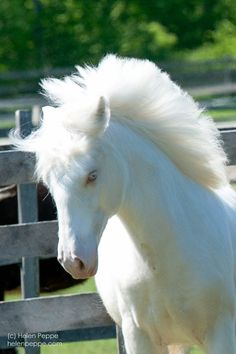 This cremello yearling is from Dungarvan Feather Helen Peppe, Author and Photographer