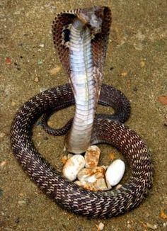 Les Reptiles, Reptiles And Amphibians, Cobra Royal, Dream Snake, King Cobra Snake, Snake Cakes, Weird Trees, All About Snakes, Medusa Art