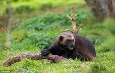 Global warming endangers snow-loving 'mountain devil' wolverines, officials warn - who call for a protection act across 48 states in America Black Bear, Brown Bear, Wolverine Images, Pine Marten, States In America, Wolverines, Global Warming, Predator, Animals Beautiful
