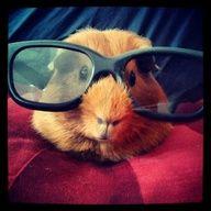 Hipster Guinea Pig