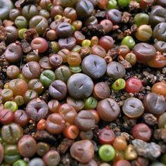 lithops | Buy fresh Lithops mixed seeds online | CactusPlaza.com