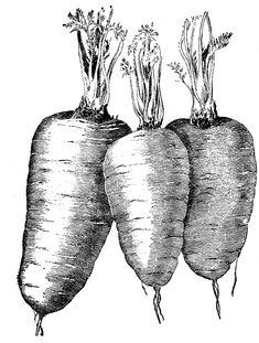 Vintage Vegetable Clip Art - Carrots - The Graphics Fairy