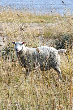 Lamb, My Photos, Animals, Animales, Animaux, Animais, Baby Sheep, Animal