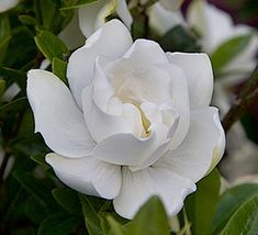 Video: Jubilation™ Gardenia A charming improvement on a Southern favorite, Jubilation Gardenia grows compactly with fragrant, white blooms in spring; reblooming sporadically through summer into fall.