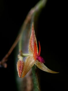 5mm Lepanthes, undescribed species  ,Orchid,Costa rica