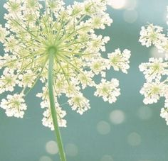 "Queen Anne's Lace, technically a ""weed"" but it's so beautiful!"
