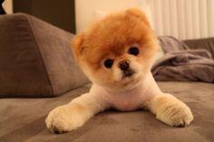 Boo The Dog Wallpaper Boo The Cutest Dog, World Cutest Dog, Cutest Dog Ever, Cutest Puppy, Funny Dogs, Funny Animals, Cute Animals, Little Dogs, Cute Puppies