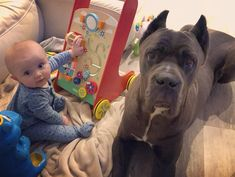 Our Cropped Cane Corso Protection Dogs and puppies for sale in UK are fully trained.This can be either as a family protection dog, personal or security dog. Puppies For Sale, Dogs And Puppies, Cane Corso For Sale, Cane Corso Dog, Real Family, Thor, Animal Pictures, Family Protection, Pitbulls