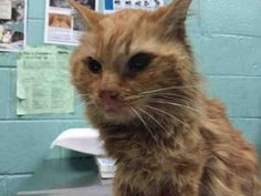 ***GONE 07/09/16***  MAKE THIS OLDSTER'S DREAM COME TRUE!! SECOND CHANCE TONIGHT!! HEAD- BUTTING, AFFECTIONATE SENIOR BOY ONLY WANTS A WARM LAP AND SOME LOVE - PLEASE ADOPT FLUFFY TONIGHT!! FLUFFY was brought into the shelter as a stray and has been nothing less than calm, affectionate, and loving all the attention he gets. Sadly, FLUFFY has the kitty cold and since the ACC is not in the business of helping cats get well, they plan on killing this sweet boy at noon Thursday. FLUFFY is about…