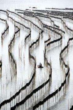 Sundried Kelp farm - Xiapu, Fujian, China Secado al sol de...