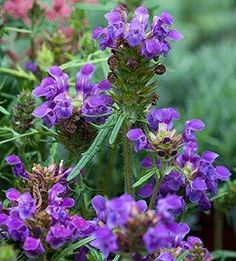 Prunella grandiflora. large Self-Heal. Ground cover perennial for sunny locations