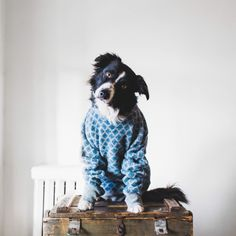 findmomo:  Another hand-me-down for Momo cause *somebody* threw his favourite wool sweater in the wash. (It was me, please send help, I should know this by now)