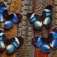 Diadem Butterflies - Trowbridge Gallery
