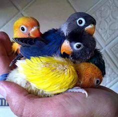 Baby Lovebirds.