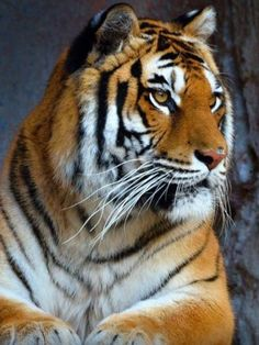 Tiger...powerful looking guy!