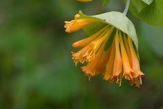 Foro de InfoJardín - Plantas y flores curiosas                 lonicera ciliosa