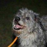 Found grey terrier @Carol Van De Maele Van De Maele Ann 39881 — at Animal Resource Center