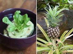 Bok Choy, Pineapple & More: 17 Plants You Can Grow From Kitchen Scraps Black Thumb Gardener