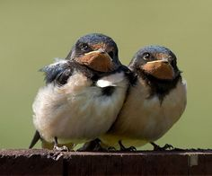Fat and happy barn swallow babes.  We get two hatchings a year from five nests in the barn.  Love!
