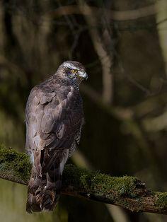 The Northern Goshawk (Accipiter gentilis)   Flickr - Photo Sharing!