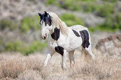 Mark Terrell, Wild Horses of Nevada Photography