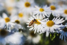 Krmení včel Jakubovským stropním krmítkem Dandelion, Insects, Bee, Flowers, Plants, Animals, Pictures, Honey Bees, Animales