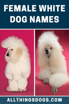 If you're a fan of Game of Thrones and have fallen in love with the Dothraki queen's valor and intelligence, why not name your new female dog Khaleesi after her. Check out our list of female white dog names for more ideas.  #femalewhitedognames #whitedognames #whitefemaledognames White Puppies, White Dogs, Female Dog Names, Khaleesi, New Puppy, Cool Names, Poodle, Falling In Love, Challenges