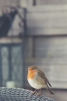 rødstrupe / robin - my favorite Kinds Of Birds, Love Birds, Beautiful Birds, Animals Beautiful, Beautiful Things, The Animals, Robin Redbreast, Photo Animaliere, Photo Images