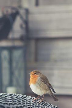 J'aime beaucoup le rouge-gorge, qui s'approche de nous quand on est dans le jardin, intrigué et toujours curieux et sympathique.