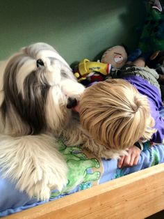 dog kissing child bearded collie