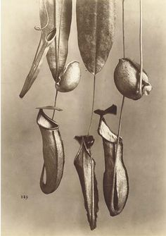 Alphonse Bernoud, Plant studies, 1870